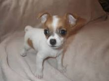 Chihuahua puppies ready to go. Call or text @(431) 803- Image eClassifieds4U