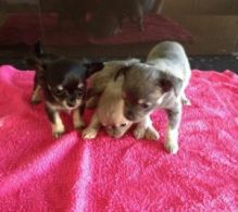 Lovely Chihuahua Puppies for Sale text (408)-721-4323