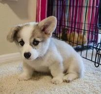 Pembroke Welsh Corgi for Rehoming text (408)-721-4323