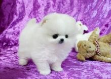 Pomeranian Puppies Available Free text (408)-721-4323