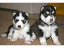 Pure Bred Full Pedigree Siberian Husky Pups text (408)-721-4323