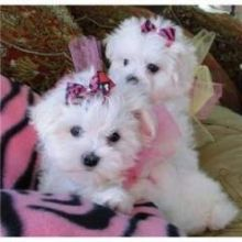 Pure White Maltese Ready for New Home text (408)-721-4323