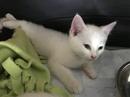 cute savannah kittens for sale Contact(408) 721-4323 Image eClassifieds4u 1