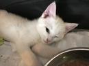 cute savannah kittens for sale Contact(408) 721-4323 Image eClassifieds4u 2