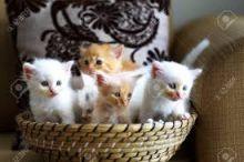 cute savannah kittens for sale Contact(408) 721-4323 Image eClassifieds4U