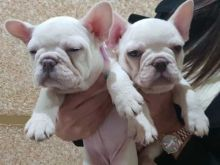 French bulldog puppies for sale text (408)-721-4323 Image eClassifieds4U