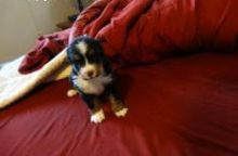 Bernese Mountain Dogs available for adoption. Text only @(431) 803-0444