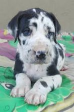 Lovely and Cutest Great Dane puppies for adoption. Text only @(431) 803-0444