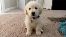 Purebred Golden Retriever puppies. Text only @(431) 803-0444