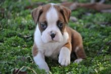 Red and White Boxer Puppies text (408)-721-4323