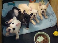 French bulldog puppies for sale text (408)-721-4323