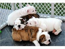 AKC Adorable Male and Female English Bulldog contact us (408)-721-4323