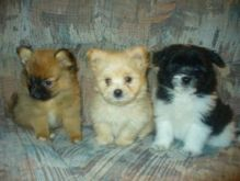 Pomeranian Puppies Available Free text ( johnsonlucian69@gmail.com)