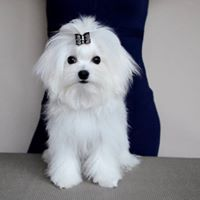 Pure White Maltese Ready for New Home text (johnsonlucian69@gmail.com)