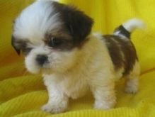 Quality Bred Family Rasied Shih Tzu For Sale text ( johnsonlucian69@gmail.com)