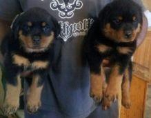 German Shepherd Puppies text (johnsonlucian69@gmail.com) Image eClassifieds4U