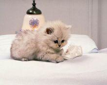 Male and female Munchkin kittens.