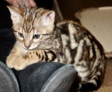 Lovely 🐾💝🐾Bengal kittens for adoption🐾💝🐾 Text or call (925) 471-5289