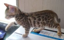 Cute and lovely Bengal kittens