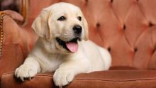 Cute Labrador retriever puppies now ready