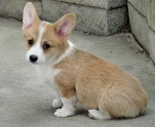 Very Lovely Pembroke Welsh Corgi puppies for Rehoming .