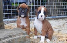 Boxer Puppies For Sale Text us at (346) 360-2211 or email us at yoladjinne@gmail.com