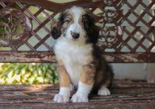 CKC Reg'd Aussiedoodle Puppies- 2 LEFT