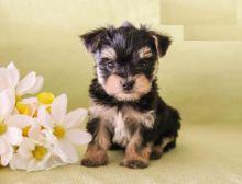 CKC Reg'd Morkie Puppies- 2 LEFT