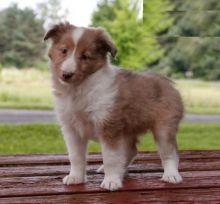 CKC Reg'd Sheltie Puppies- 2 LEFT