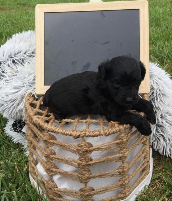 CKC Reg'd Black Yorkiepoo Puppies- 2 LEFT Image eClassifieds4u