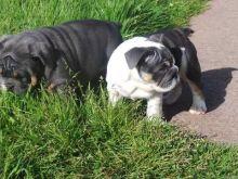 Ckc English Bulldog Puppies For Re-Homing