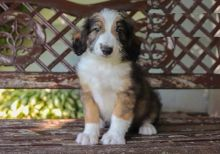 CKC Reg'd Aussiedoodle Puppies- 2 LEFT