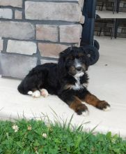 CKC Reg'd Bernedoodle Puppies- 2 LEFT