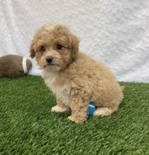 CKC Reg'd Bichpoo Puppies- 2 LEFT
