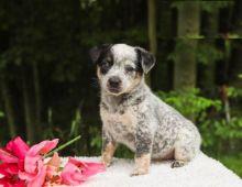 CKC Reg'd Blue Heeler Puppies- 2 LEFT