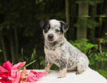 CKC Reg'd Blue Heeler Puppies- 2 LEFT