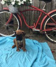 CKC Reg'd Boxer Puppies- 2 LEFT