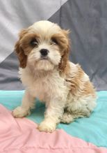 CKC Reg'd Cavachon Puppies- 2 LEFT