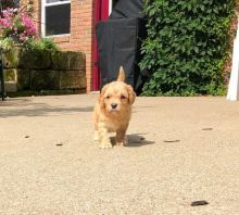 CKC Reg'd Cavapoo Puppies- 2 LEFT