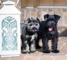 CKC Reg'd Miniature Schnauzer Puppies- 2 LEFT