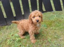 CKC Reg'd Spaniel X Poodle (C.o.c.k.a.p.o.o) Puppies- 2 LEFT