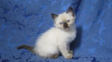 Cute Siamese kittens available