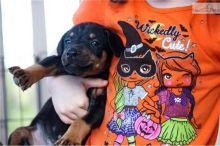 Doberman Pinscher puppies available
