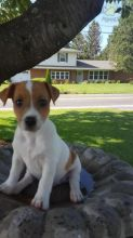 Beautiful puppies Jack Russell Terrier ready to go!!!!