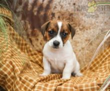 Only 2 available! Jack Russell Terrier pups! **Vaccinated** ️