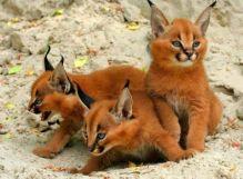Caracat kittens