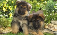 Beautiful German Shepard Puppies for any pet loving home