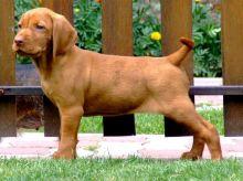 Beautiful Vizsla Puppies