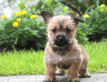 Cairn Terrier puppies -Male & Female