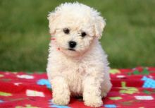 Male and female Bichon Frise puppies for adoption
